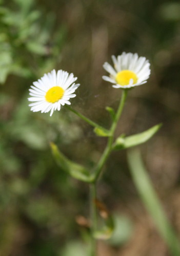 Daisy Fleabane, Erigeron annuus