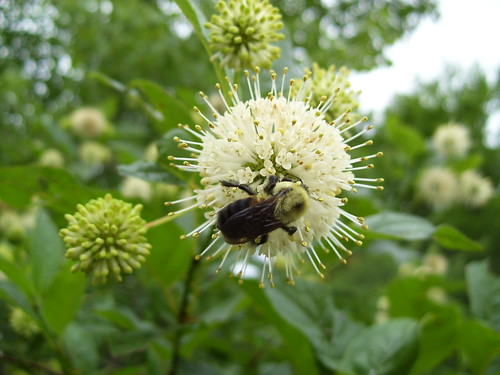 Bumblebee On Buttonbush by pixygiggles