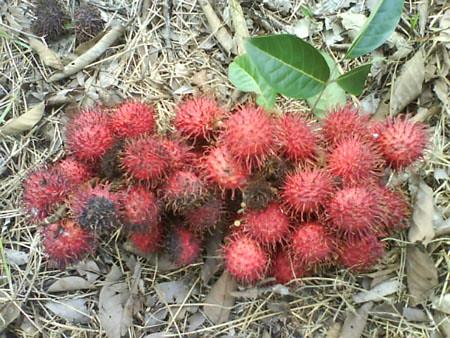 Rambutan lychee