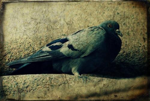 Attention à ne pas se faire pigeonner en acceptant sans les lire des Conditions dutilisation (Colom/Pigeon. Par Oryctes. CC-BY-NC-SA. Source : Flickr)