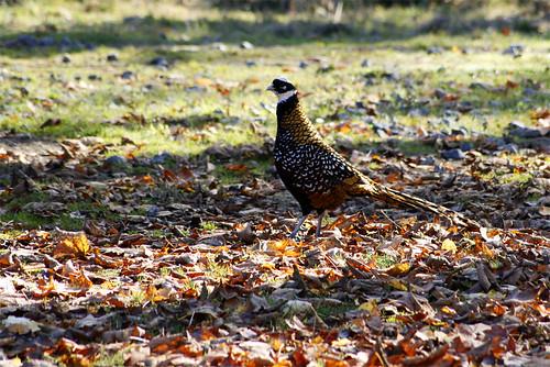 faisan / pheasant