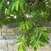 chanoa_in_suriname__061