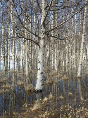 Spring flood among the birch trees - Photo : me suz