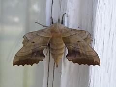 sphynx moth
