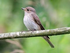 Spotted Flycatcher; Muscicapa striata