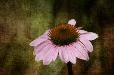Cone Flower with Texture