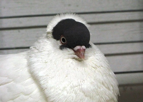 I love this pigeon. She looks like some sort of exiled Russian princess to me.
