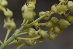 Inflorescence of M. tanarius (Courtesy of plj.johnny)