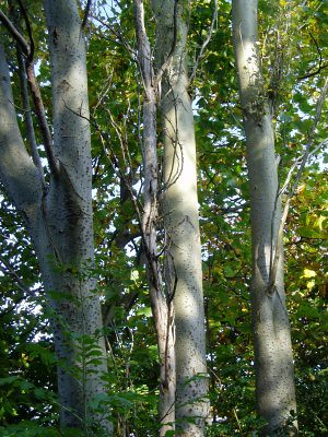 i love the silvery colours of the trunks, so smooth and majestic.