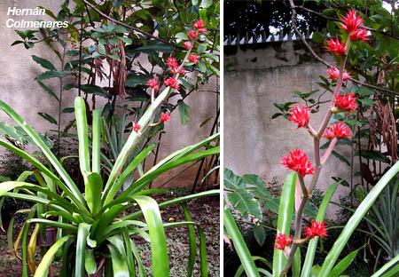 hohenbergia stellata
