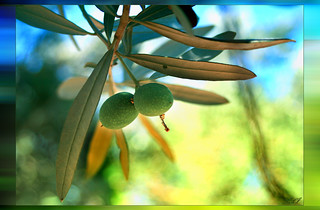 Aegean Pearl  -- Baby Olive
