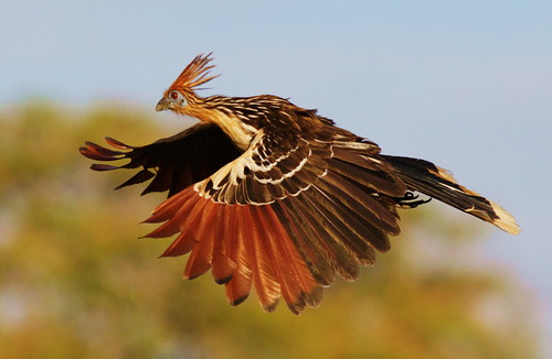 This picture of a hoatzin is unrelated to the topic of this post