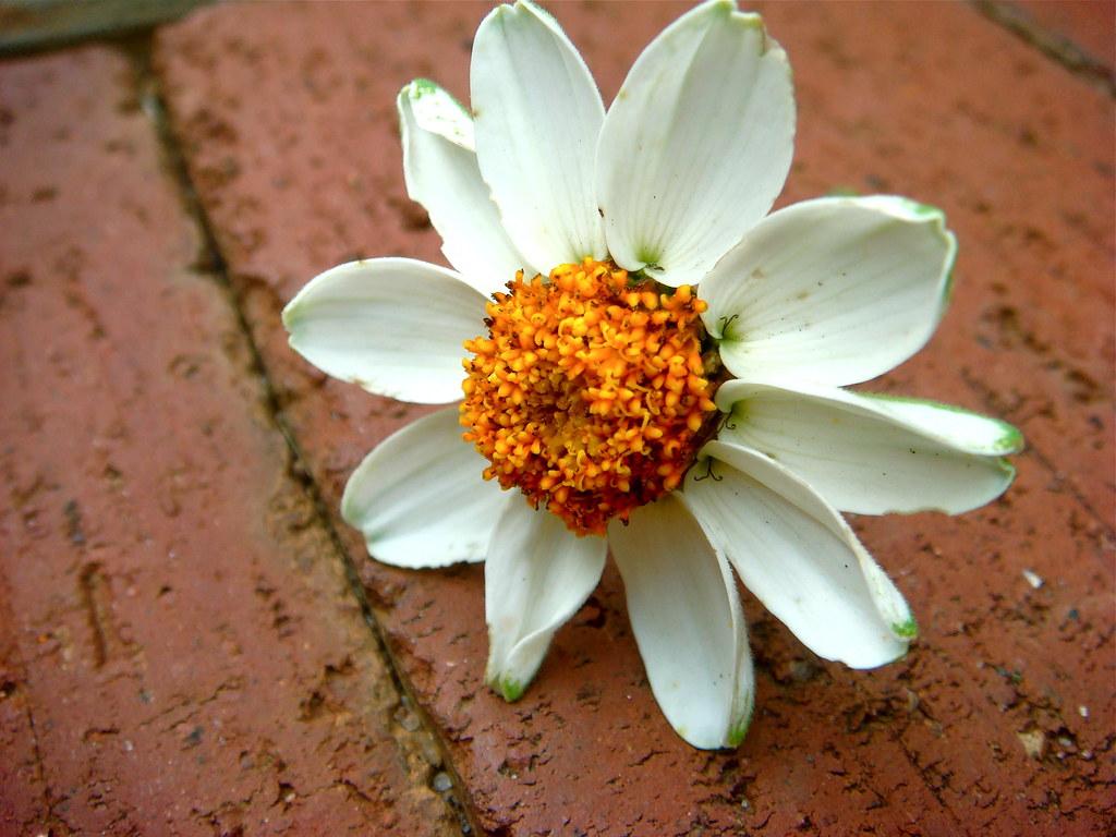 Misplaced Daffodil