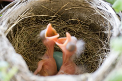 baby_birds