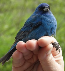 Indigo Bunting - photographed in May