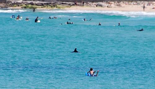 Delfín en Bondi Beach
