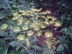 dill weed blossom