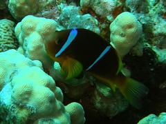Pez payaso del Mar Rojo / Red Sea anemonefish (Amphiprion bicinctus)