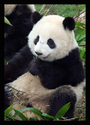 Chengdu Panda Base February, 2008