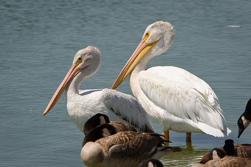 American White Pelican by you.