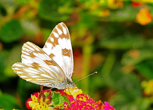 butterflies on lantana