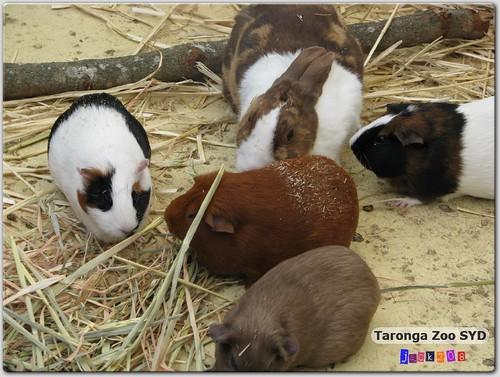 Taronga Zoo - Guinea Pigs