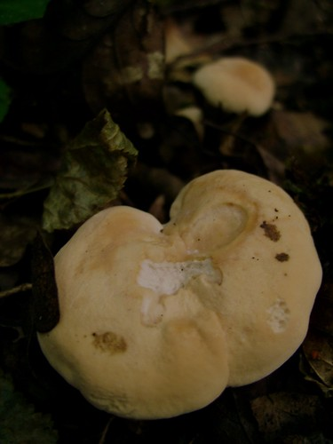 Hedgehog Fungus