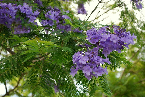 Happy Thing: Jacarandas in Bloom