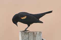 Red-Winged Blackbird by Hard-Rain