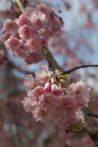 091 | Sakura