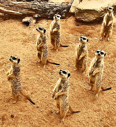 Meerkats all stand looking in the same direction