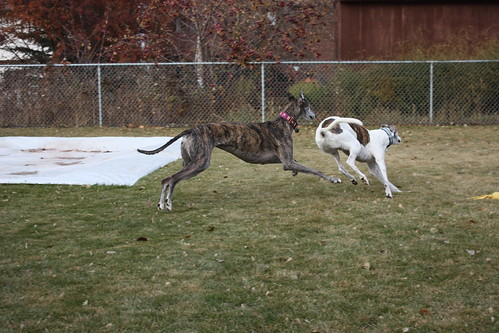Sabrina just LOVES to chase Apollo.