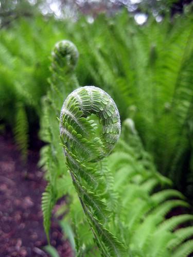 Fern, Chinese Garden