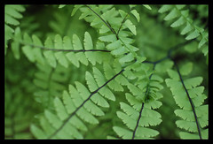 Maiden's Hair Fern by Free-to-Be on Flickr