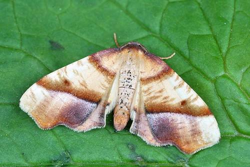 6842 - Straight-lined Plagodis - Plagodis phlogosaria