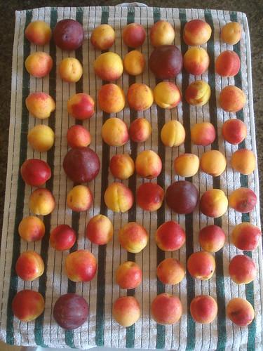 apricot 1 杏桃