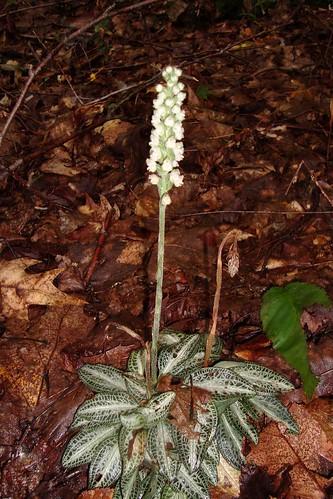 Downy Rattlesnake Orchid