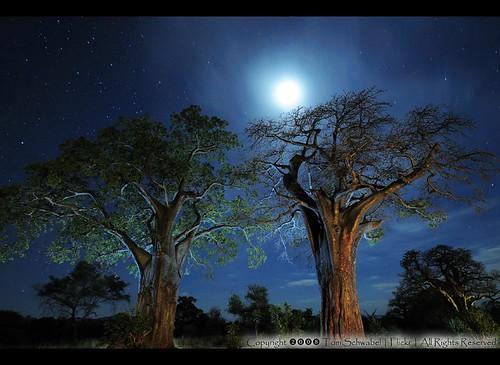 africa blue trees sky moon tree night stars tanzania star nikon surreal safari baobab tarangire littleprince petitprince boab d300 tomschwabel baobabs cotcmostinteresting anawesomeshot safariguideseye photoartbloggroup imagicland pdxsafariguy