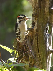 Downy Woodpecker (Picoides pubescens) macho/male