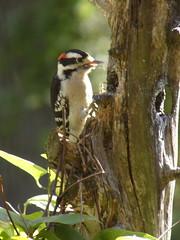 Downy Woodpecker (Picoides pubescens) macho/male