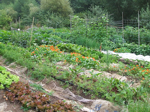 Whidbey Organic Veggie Garden