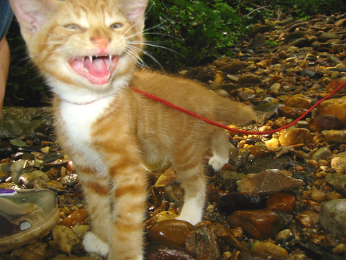 20080914 - cats visit our creek - 168-6810 - Lemonjello - meowing, looking crazy - 'HOW **DARE** YOU TAKE ME TO THE CREEK' - please click through to leave a comment on FlickR