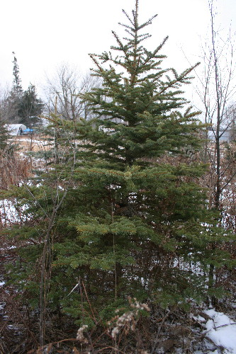 Christmas tree with nest