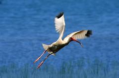 NC Shore Bird