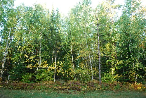 This mixed stand of birch, aspen, white, red and jack pine, and balsam fir is typical of the site.