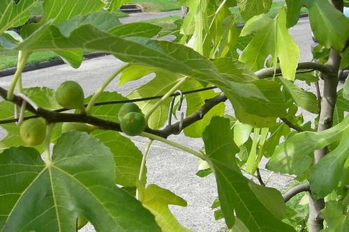 Street fig trellis hooks