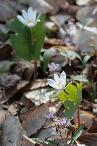 Bloodroot and Spring Beauties