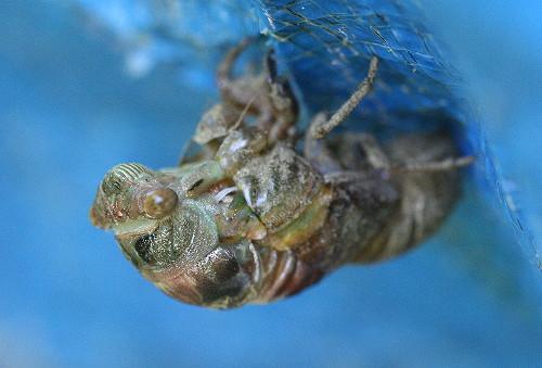cicada9
