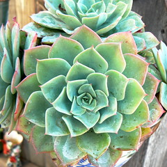 Succulents in garden