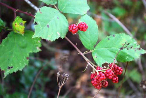 blackberries, böğürtlenler, pentax k10d, düzce city